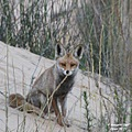 The female fox again. The previous pic was taken in direct sunlight just before sunset.  This on...