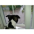 Diesel Staffy Waiting For Mum Rain Autumn Hinckley