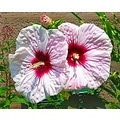 Hibiscus flower posy bloom blossom spring tropical flora hawaii