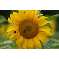 sunflower bees luxembourg
