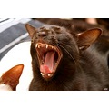 Oriental cat cinnamon point cats pet pets siamese havana siam yawning