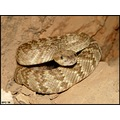 Female Blacktail rattlesnake living in a mine shaft