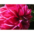 dalia flower fucsia color