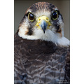 lanner falcon falco biarmacus