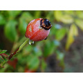 rose bud water drop garden perth littleollie