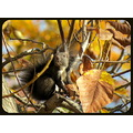 Squirrel autumn nut