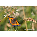 Nature Wildlife Butterfly Tortoiseshell Spideyj