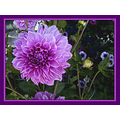 Dahlia Large Flower Plant Macro g9 Aloha Oregon