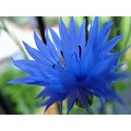 corn flower beeston nottingham tub blue