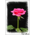 Rose Flower Kerry Ireland Peter OSullivan