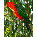 australian wildlife king parrot