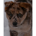 husky australian shepherd puppy dog pet molly