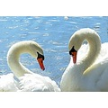 Swan waterfowl birds feather feathers white mating