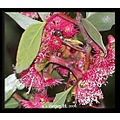 Red gum tree blossoms