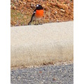 scarlet robin bird animal nature