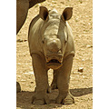 rhino animal baby mammal nature wildlife