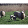 sheep romney marsh