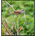 bird whitethroat nature