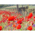 poppies in our garden