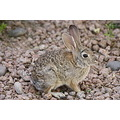 Rabbit Cottentail jdahi64