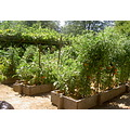 Vegetable garden raised bed august tomato