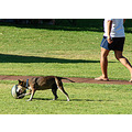 dog football soccer park sunday perth littleollie