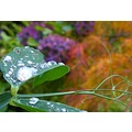 droplets sweet pea peterpinhole