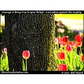 stlouis missouri usa flower tulip red yellow beauty 032812