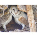 Barn Owls Birds Animals