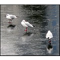 birds gulls ice