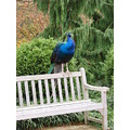 A peacock chilling on the bench haha