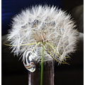 dandelion vase glass