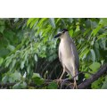 Night Heron....York lake. Today I was uploading lots of pic for a halfprice print sale and thoug...