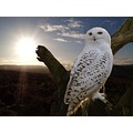 Snowy Owl Photoshop Animals Nature Wildlife Wild Sun Sky Landscape