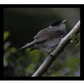 nature bird blackcap feathers carlsbirdclub