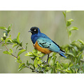 Superb Starling Kenya