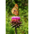 Butterfly thistle insect