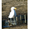 seagull birds chile sea concon nature