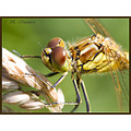 nature insect dragonfly macro