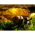 acorn autumn light leaf