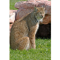 animals wildlife bobcat travel SouthDakota
