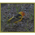 birds nature WesternTanager CraterLakeNationalPark