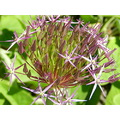 nature flower allium