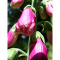 foxgloves pink flowers