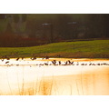 ShutterlySpectacularPhotography Sunset Canadian Geese