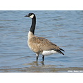 canada goose standing water bird waterfowl