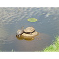 These turtles live with us in the canal, has survived many winters and it's just cold water