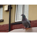 Nature Wall Pigeon Gillards Macro Bird Window