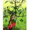 bonsai tree philippines red green