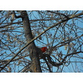 Northern Cardinal nature birds
